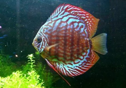 Discus Red Spotted Green F1
