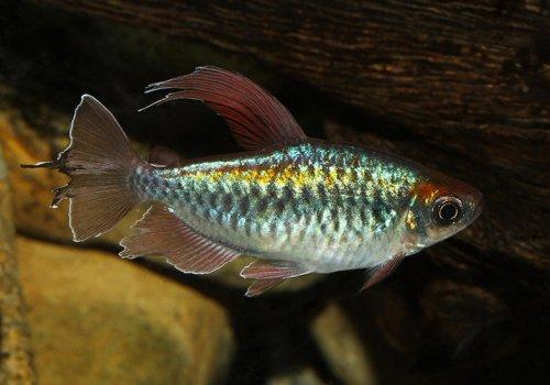 Тетра Конго (Phenacogrammus interruptus)