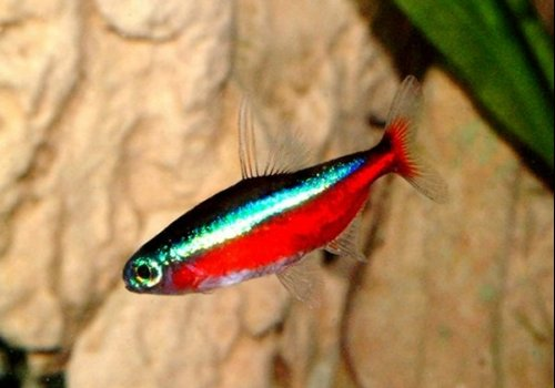 Неон красный (Paracheirodon axelrodi)