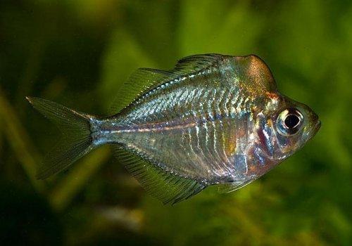 Стеклянный окунь гребнеголовый (Parambassis pulcinella)